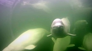 Belugas know how to have cheeky fun