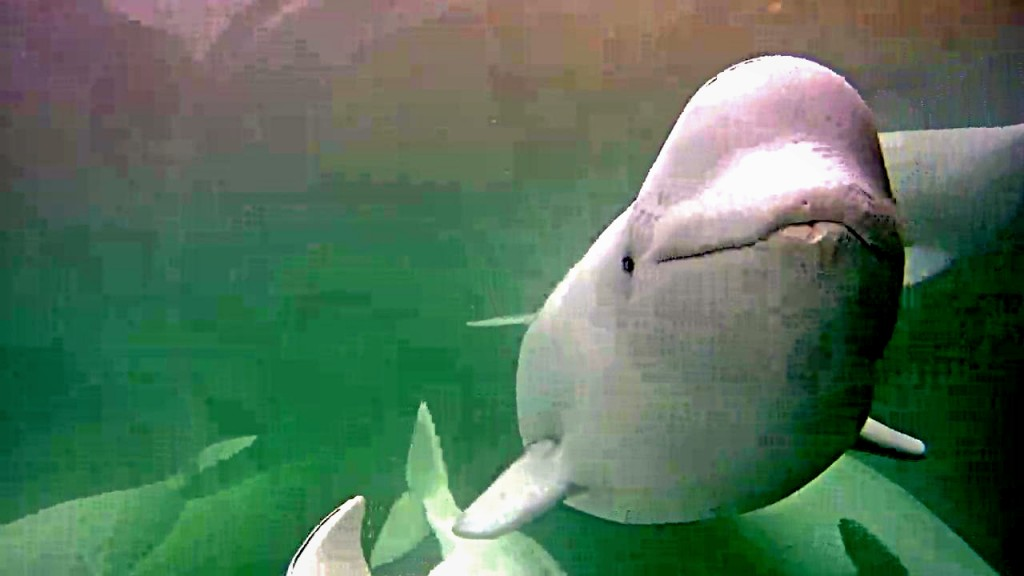 Belugas groove to the music