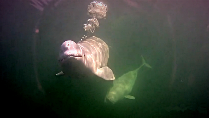 A Beluga blows bubbles on our underwater cam