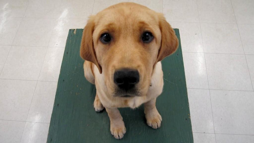 Loving Labrador Mama Lulu