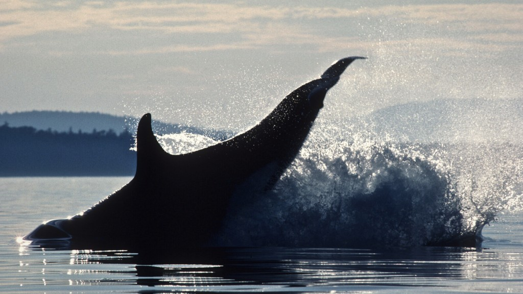 Killer Whale breaches off Hanson Island