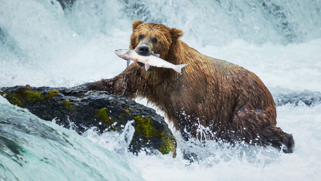 Bear_Fish_Stock_16x9