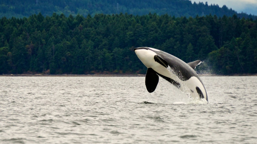 Orca breaches the surface