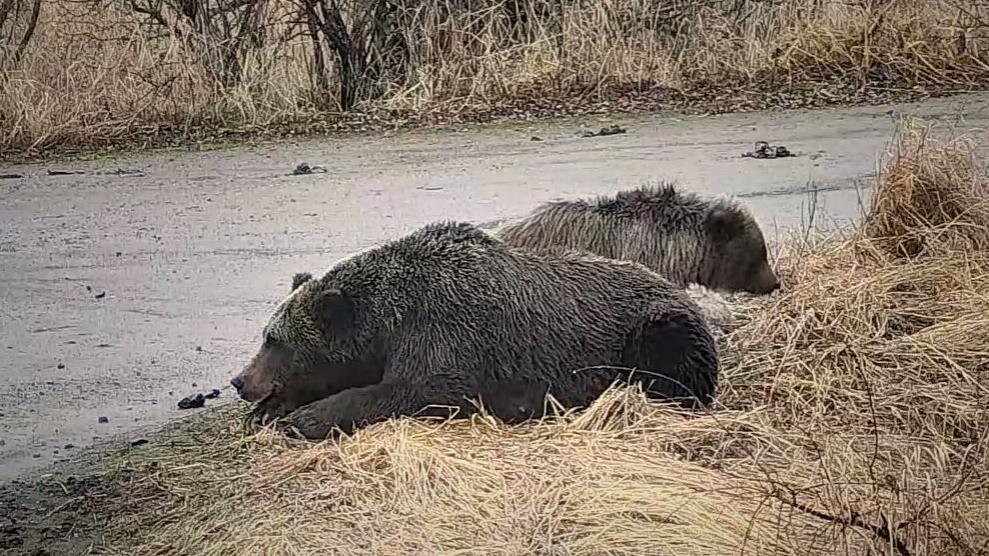 A cub lays between mom #451 and sibling
