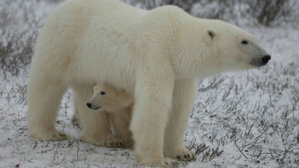 A polar bear mom and her cub wait for the sea to ice over.