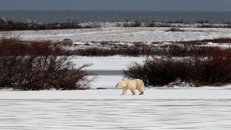 A polar bear roams the frozen tundra.