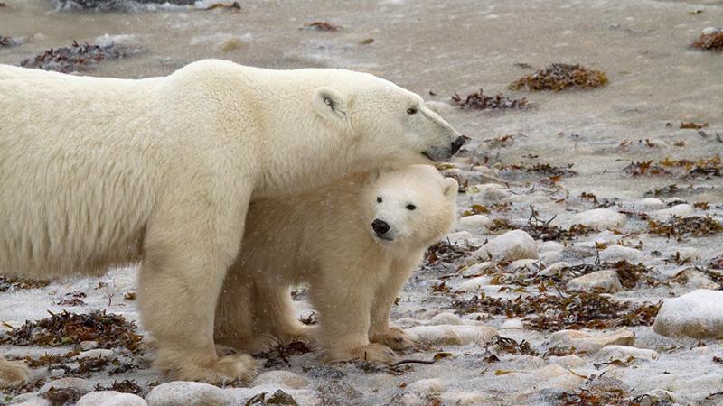 A polar bear mother and cub.