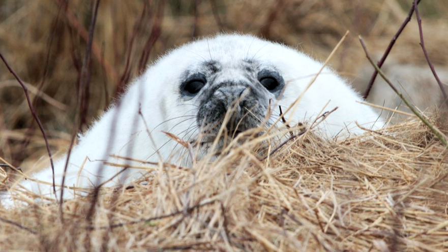 A soft, white gray seal pup