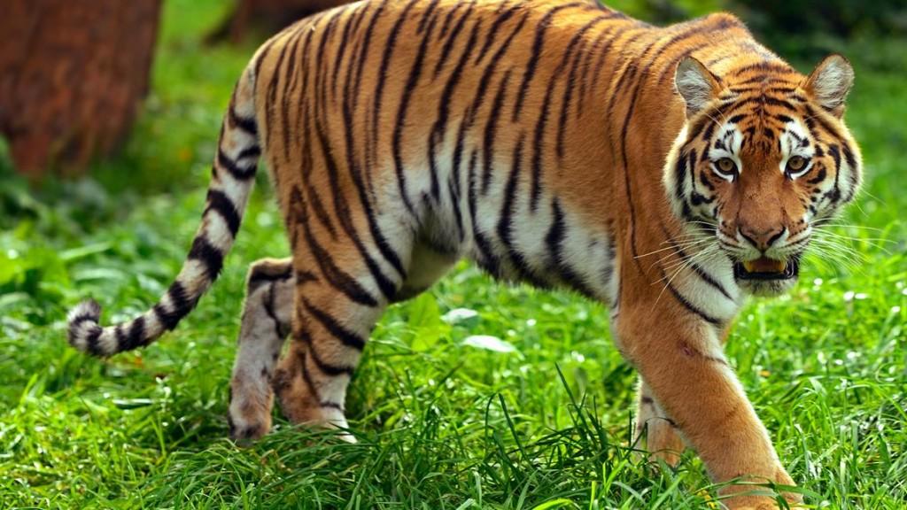Tiger_BCR