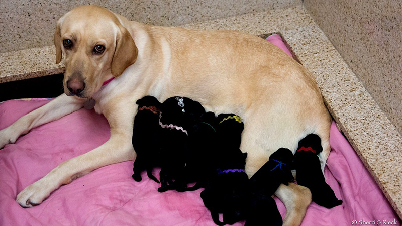 Willow is the proud (and tired) mom of a new service dog litter.