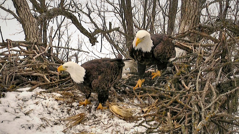 The Decorah eagles ready their nest for eggs.