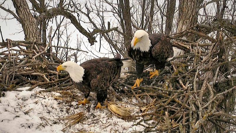 The Decorah eagles ready their nest for eggs.