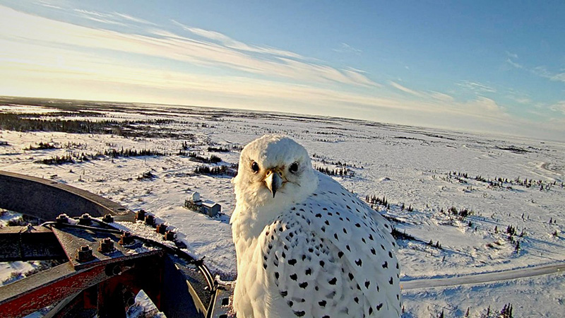 Gyrfalcon seen on the Northern Lights Cam