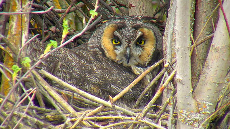 Mama owl on our Long Eared Owl Cam