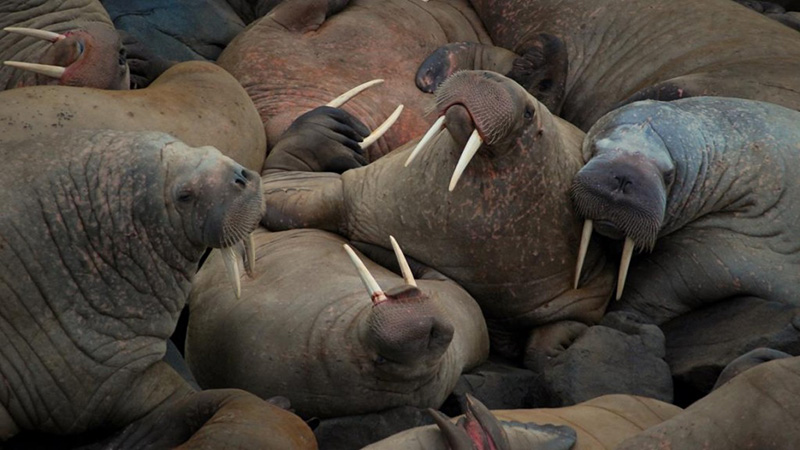 Get chummy with the walrus dudes of Round Island