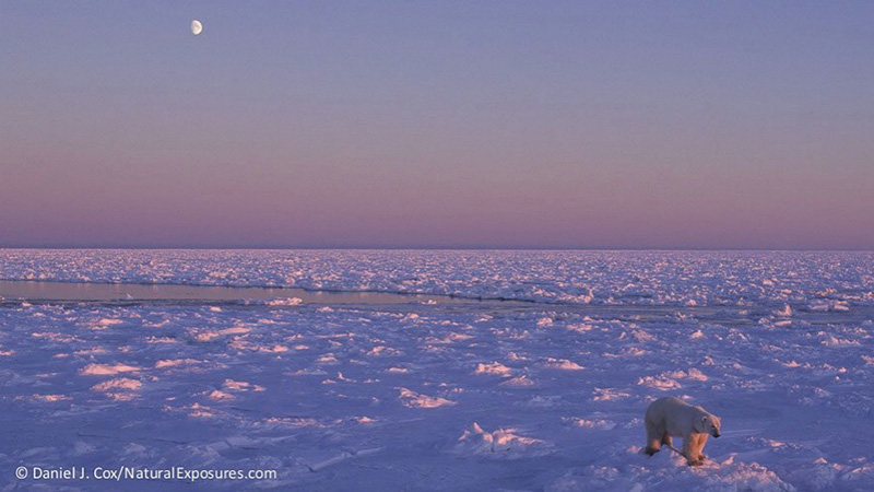 A polar bear roams a frozen Hudson Bay. Photo by Daniel J. Cox/NaturalExposures.com