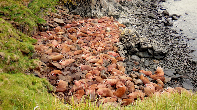 Pacific walruses on Round Island's First Beach