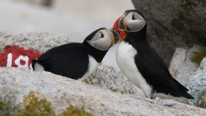Puffins – and now Cormorants – are live on explore!