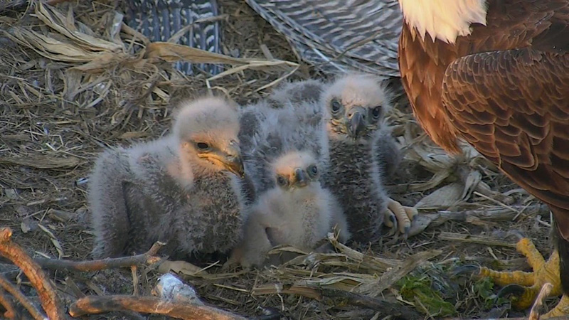 The three eaglets of Decorah North Nest