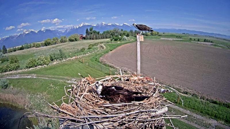 The osprey pair on their Charlo, Montana nest