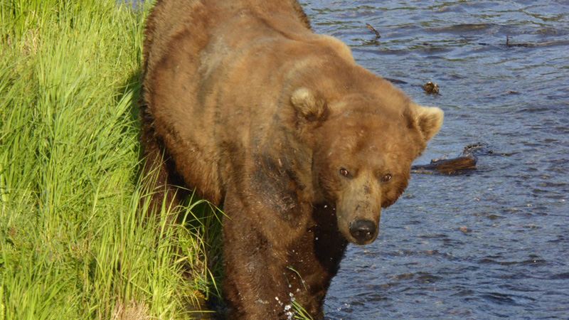 Bear #83 on June 19, 2015