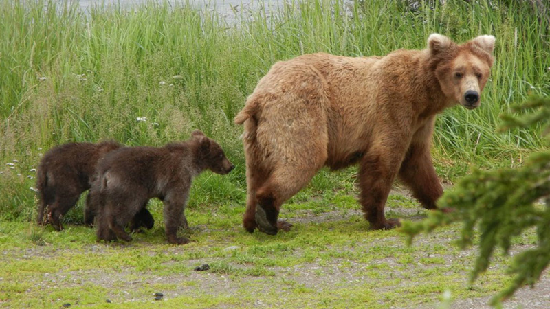 Mom bear with cubs at Katmai NPS