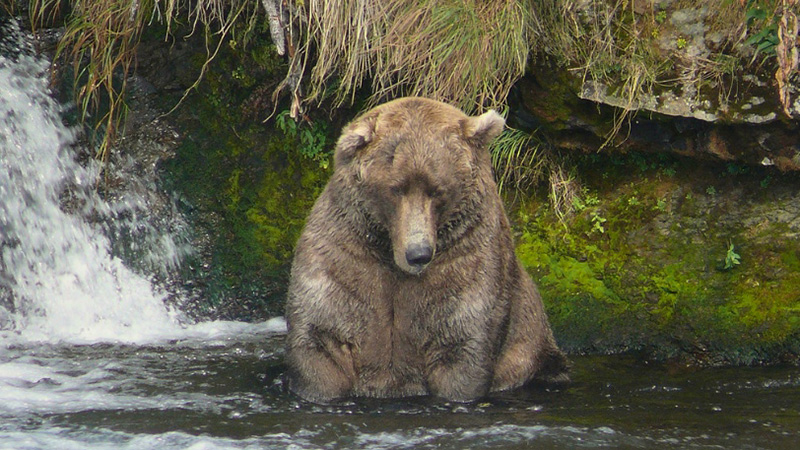 Otis waits for salmon / pic by Ranger Jeanne Roy