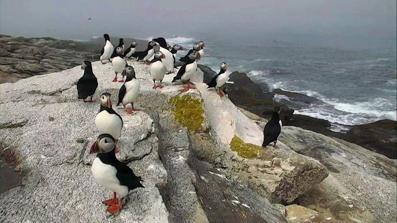 Puffins enjoy the sea-breeze on the loafing ledge.