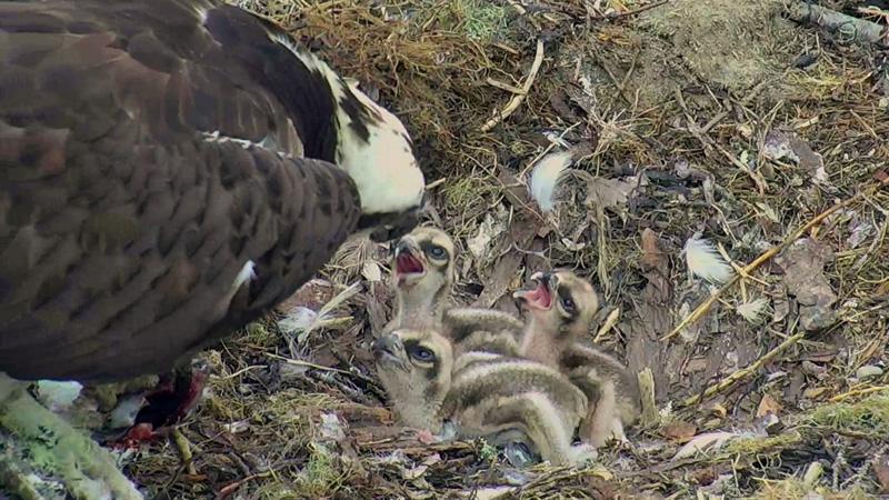 Rachel feeds her three chicks