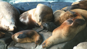 Sea Lions: Unsung Stars of Round Island