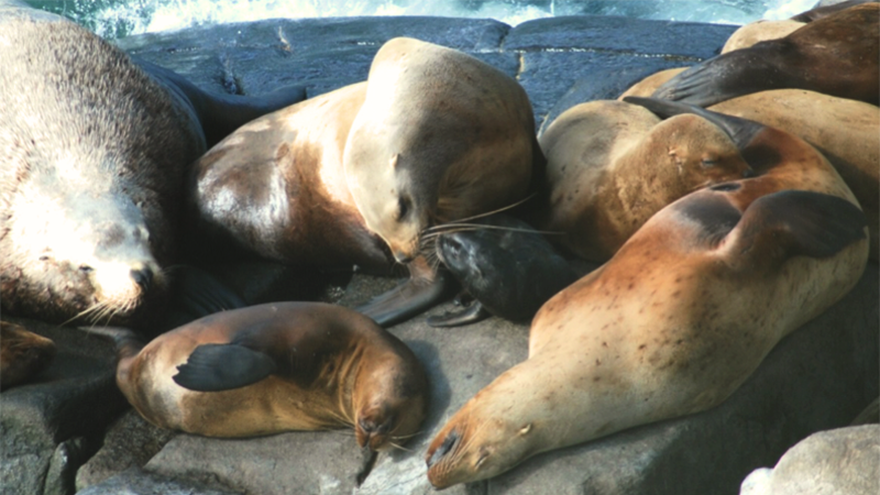 Sea lion moms and pups