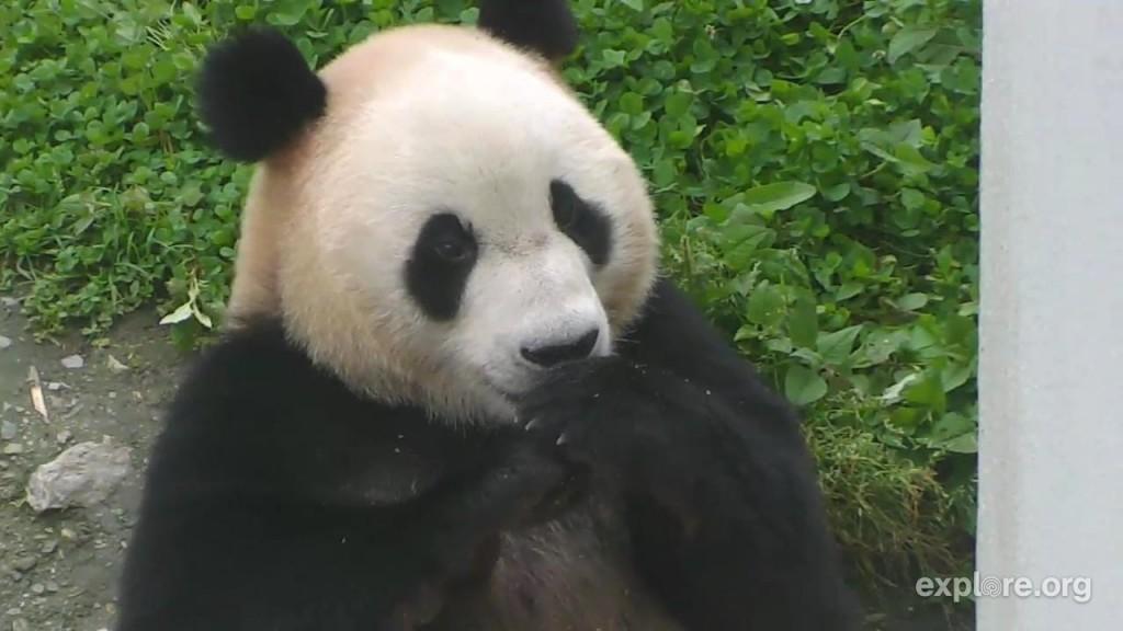 Sweet, smiley panda | Snapshot by 4meowsmom