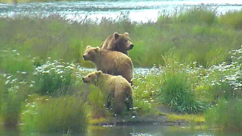 What a beautiful family on our bear cam|Snapshot by ElaineinDE