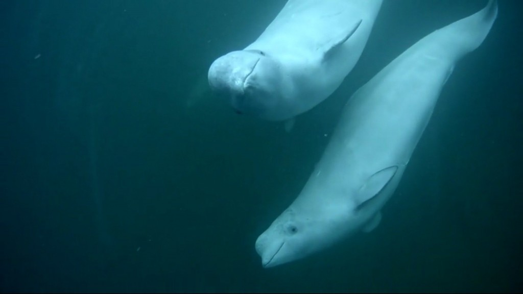 A couple belugas swimming by to say hello | Snapshot by Indydunes