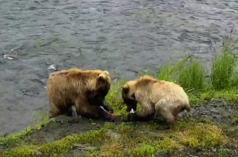 Two little cubs snacking on some fresh salmon | Snapshot by Maddog
