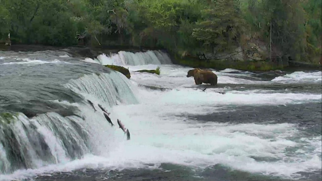 The salmon are flying Brooks Falls | Snapshot by Nicki Head