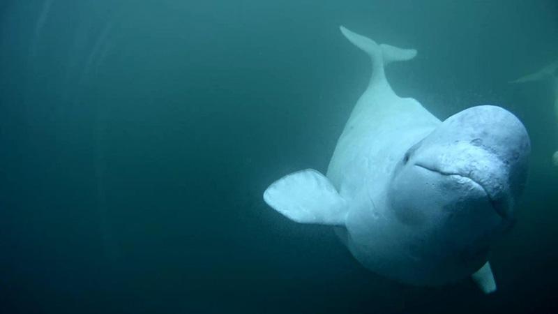 Be a Beluga Citizen Scientist! | Explore