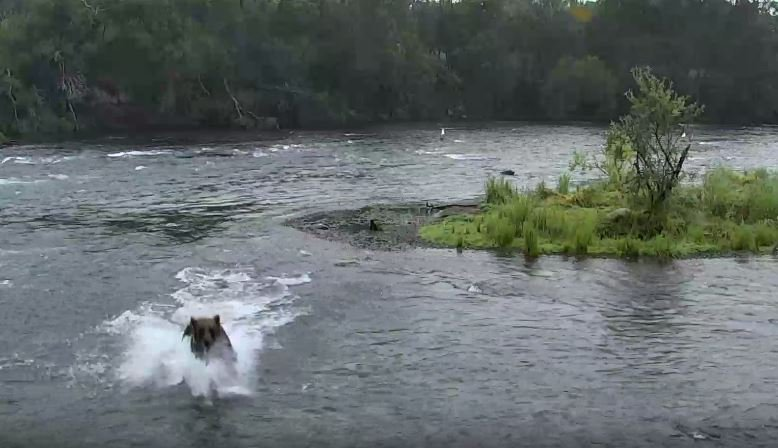 Making a splash on bear cam | Snapshot by grandmaj