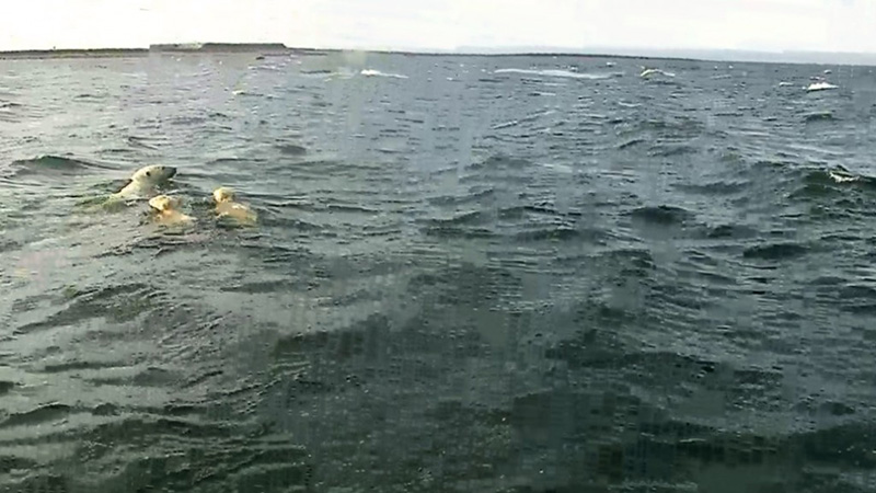 Polar bear mom and cubs swimming to shore