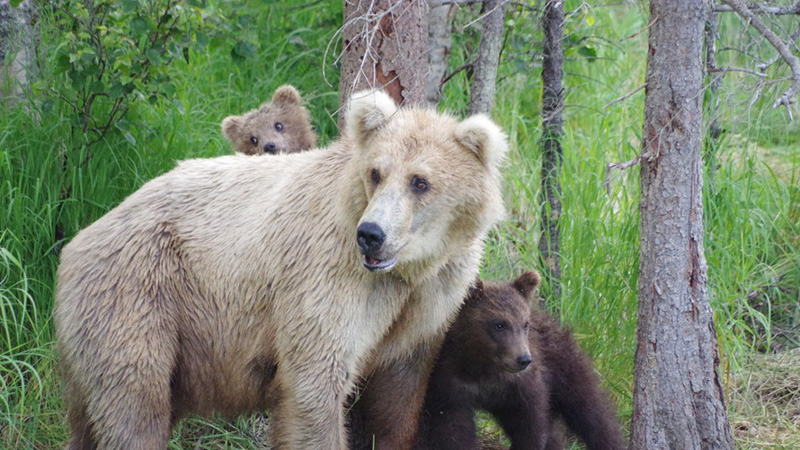 Bear 128 Grazer and her cubs. Photo by A. Gantt