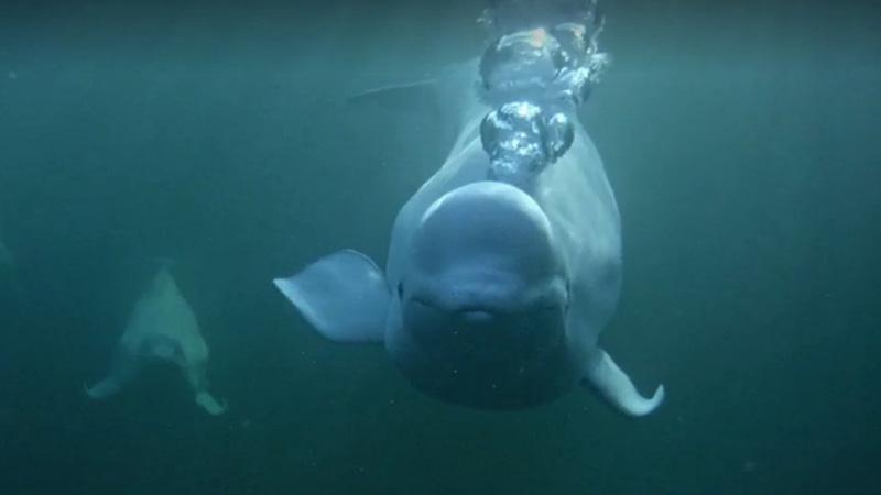 Bubbling beluga | Snapshot by BearBell