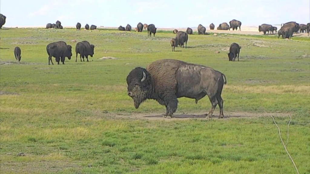 Lots of bison out at Grasslands National Park | Snapshot by KELEKA