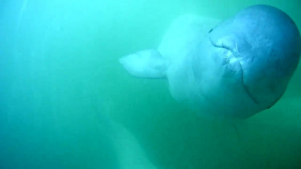 Friendly face on beluga cam | Snapshot by TaraFlynn