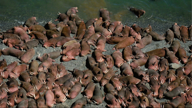 Walruses haul out on Round Island, Alaska. Pic by Ryan Morrill