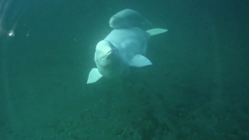 Baby beluga | Snapshot by lolo53