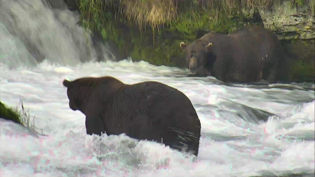 On the hunt for salmon at Brooks Falls, Katmai National Park | Snapshot by posting real