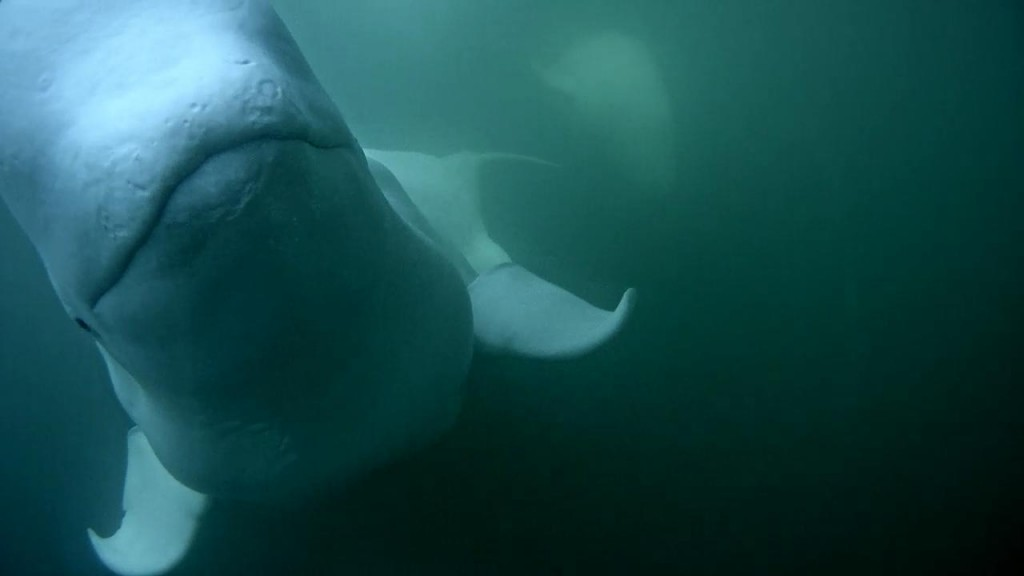 Smiling beluga | Snapshot by rachelrf