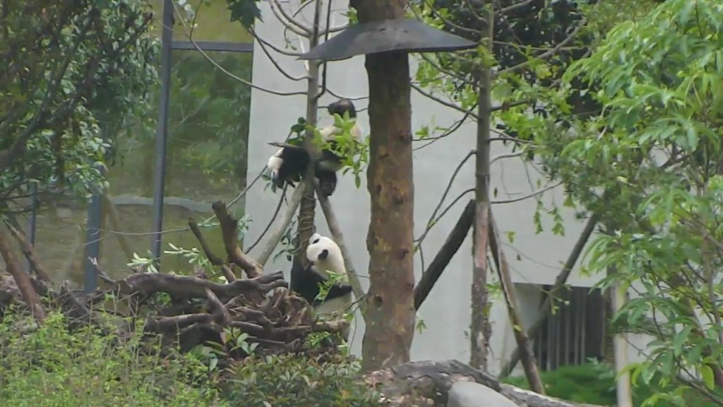 These panda cuties just love climbing trees | Snapshot by Bogie