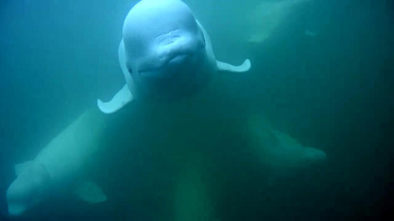Beautiful beluga babes | Snapshot by LWH
