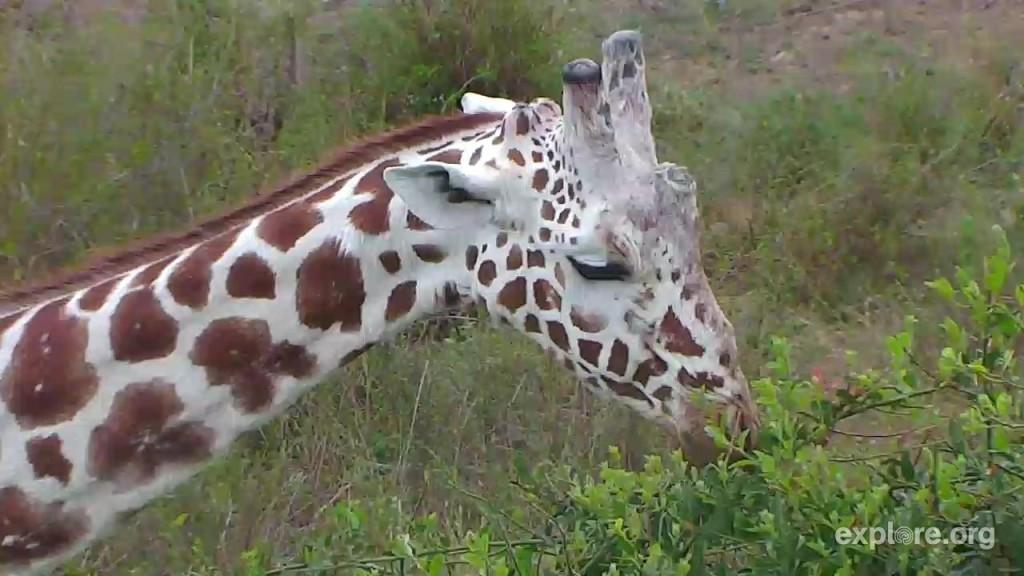 GiraffeCloseup_Melinda_11.18.2016